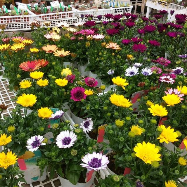 【今日のお花】オステオスペルマム
