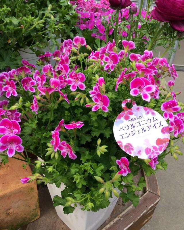【今日のお花】ペラルゴニウム ビオラ