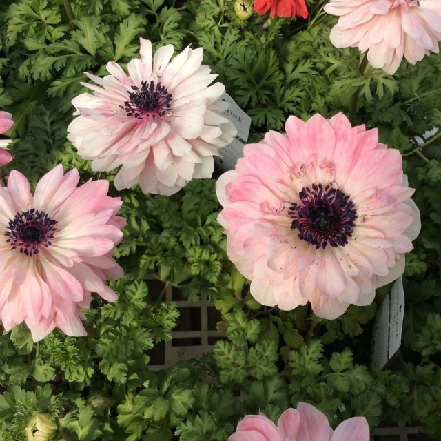 【今日のお花】アネモネアンアリス