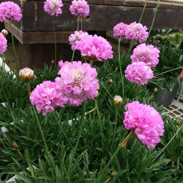 【今日のお花】アルメリア ピンクボール