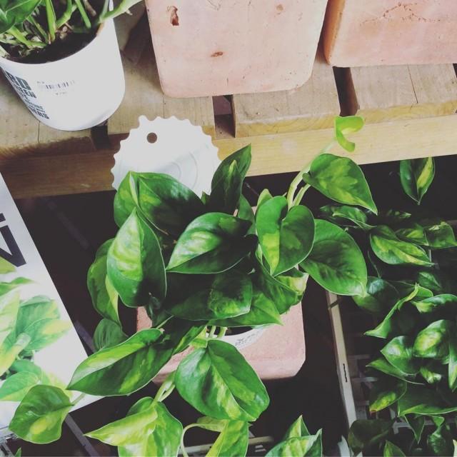 【今日の植物】ポトス グローバルグリーン