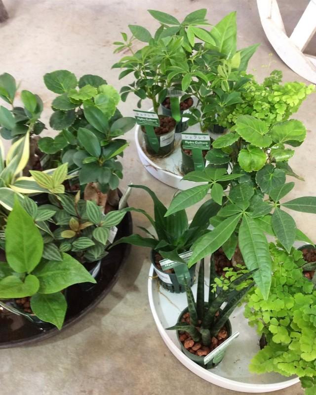 【入荷情報】小さな観葉植物たくさん入荷しました!