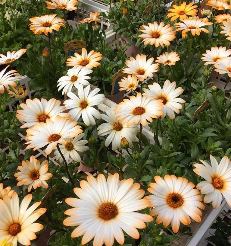 【今日のお花】ディモルフォセカ